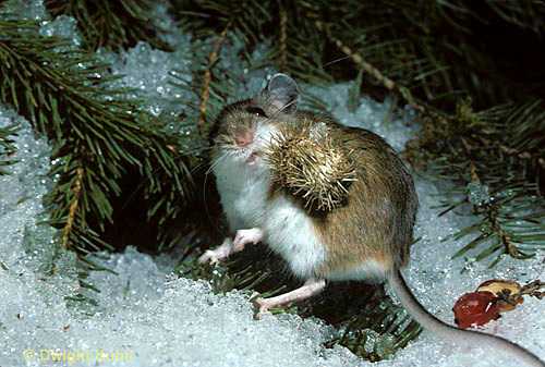 ../_images/mouse_burr_DwightKuhn.jpg